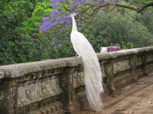 HD-White-Peacock